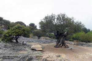 Ancient-Olive-Tree---Pont-du-Gard-SAM_9332