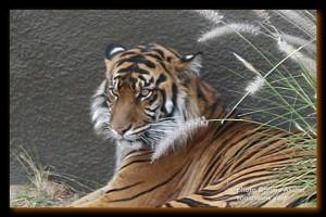 ZO-1-Tiger-edited-framed-drop-shadow-6x4-619